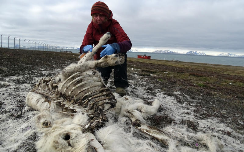 More Than 200 Reindeer Found Dead in Norway, Starved by Climate Change