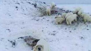 More Than 50 Hungry Polar Bears Gather Near Siberian Village