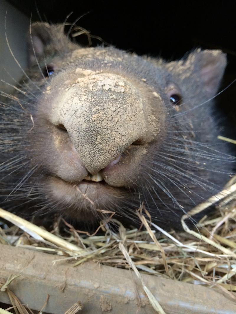 A close up of a wombat's face.