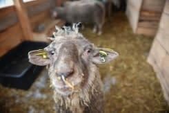 Domba yang diselamatkan dari kapal terbalik menunggu adopsi di Rumania