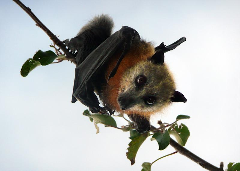 Pictured is a flying fox, which is known to carry Australian bat lyssavirus (ABLV) - which is in the same virus family as rabies.