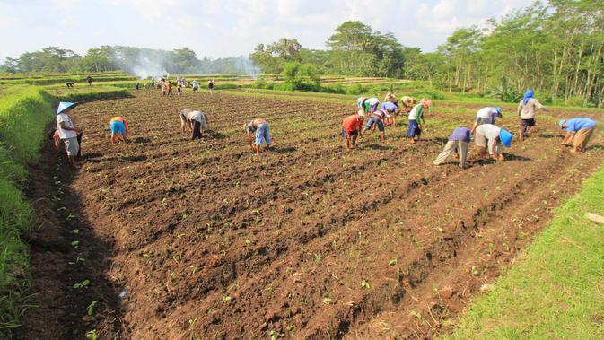 Para petani tembakau di lahan perkebunan mereka di Desa Jatiguwi, Kabupaten Malang (Liputan6.com/Zainul Arifin)