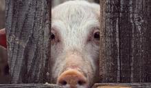 影片曝「豬餵瘦肉精副作用」被防檢局稱造成恐慌 藍營怒:獨裁政府才封鎖消息!