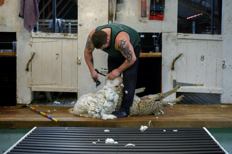 An employee shears a sheep at a ranch on the Falkland Islands, where tourism it has become a source of secondary employment for many inhabitants