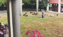 太扯!30隻獼猴闖校園 圍堵學生搶早餐
