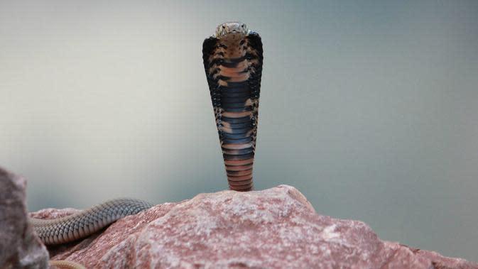 Ular kobra Naja mossambica. (Creative Commons)