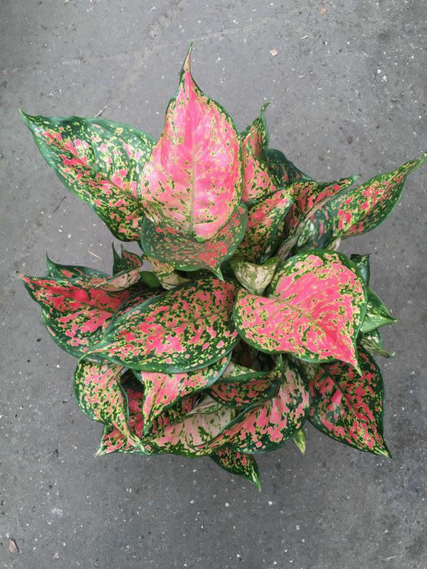 Ilustrasi Aglaonema Lady Valentine | westlakenursery.com.au
