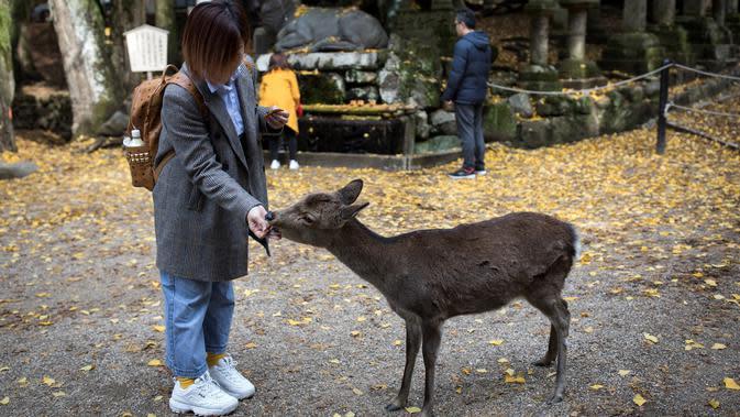 Seorang turis memberi makan rusa di taman Nara, kota Nara, Jepang pada 7 Desember 2018. Begitu memasuki kawasan ini, para pengunjung akan disambut dengan banyak rusa yang berkeliaran bebas. (Behrouz MEHRI / AFP)