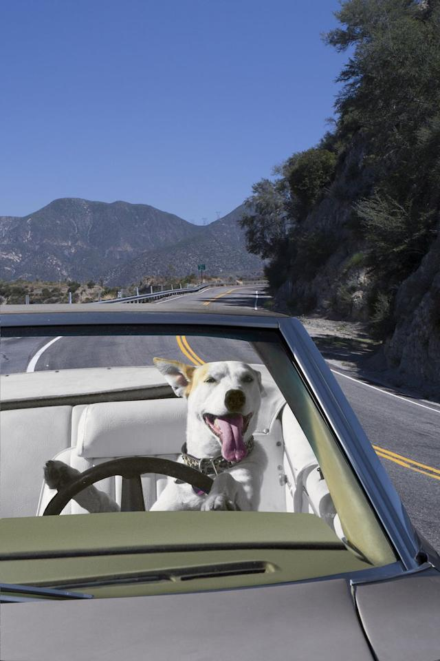 "<p>To a dog, nothing sparks more joy than the cool breeze of the open road. However, in Alaska,  <a href=""https://www.municode.com/library/ak/anchorage/codes/code_of_ordinances?nodeId=TIT9VETR_CH9.36MIRU_9.36.150CAANOUVE"" target=""_blank"">the back of an open vehicle is off-limits</a> unless the dog's tail wags 46 inches or higher. The law was put into effect after one pup was reported as a public nuisance. Ruff life!</p>"