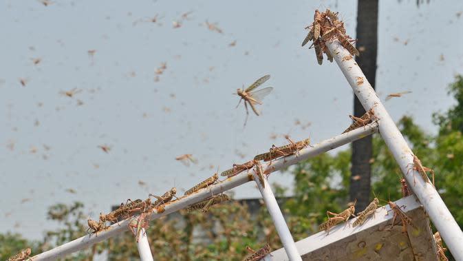 Kawanan belalang terlihat di daerah pemukiman Allahabad, India (11/6/2020). Warga dikejutkan dengan munculnya segerombolan belalang yang menyerbu permukiman di daerah tersebut. (AFP/Sanjay Kanojia)