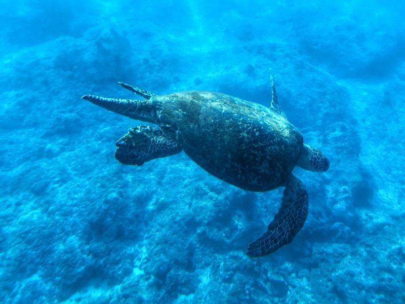小琉球避冬 與海龜相見歡