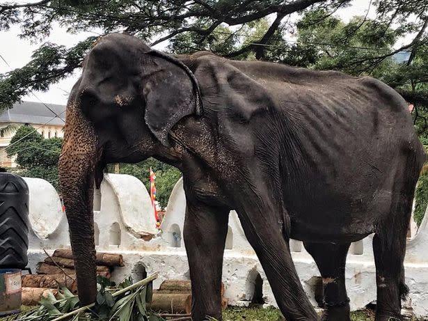 Tikiiri is 70 years old (Save the Elephant Fundation)