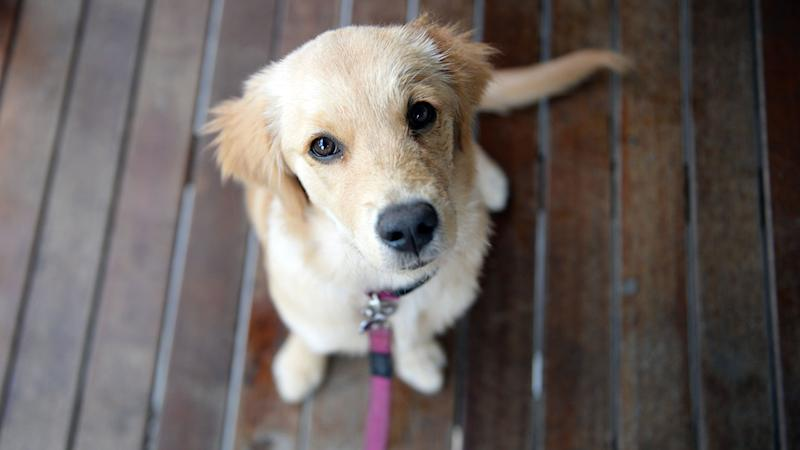 A study has looked into whether dogs, such as this golden retriever puppy, understand their owners.