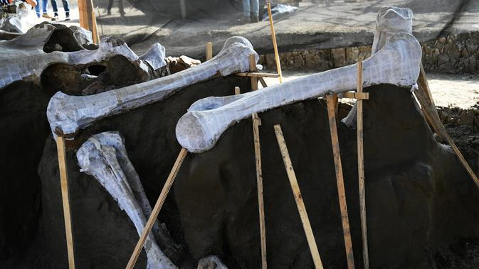 Kerangka yang berhasil terlihat itu lalu mereka beri sebuah lapisan putih guna memperlihatkan bagian-bagian kerangka mammoth secara utuh yang ditemukan di Pangkalan Militer Santa Lucia di Kotamadya Zumpango, Meksiko (8/9/2020). (AFP/Rodrigo Arangua)