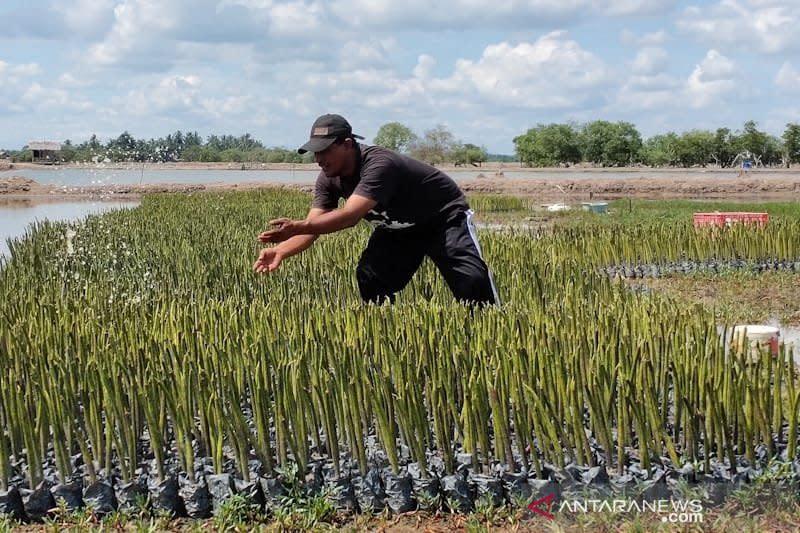 Pecinta lingkungan tanam 20 ribu bibit bakau di Aceh Timur