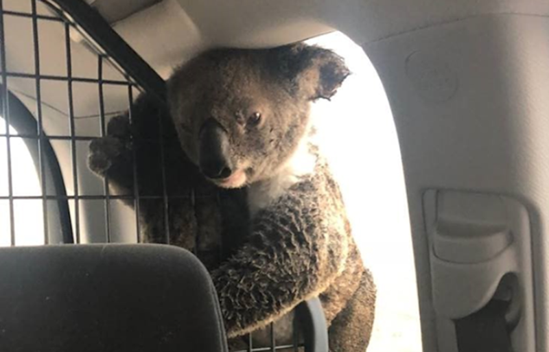 The mother koala, with singed fur, was moved to a police vehicle with her joey, while wildlife rescuers came to collect them.