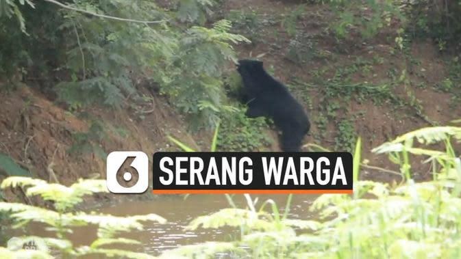 VIDEO: Beruang Masuk Desa, Serang 4 Warga