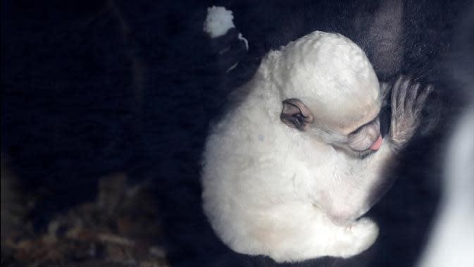 Guereza dewasa memegang bayi guereza yang baru lahir di kebun binatang di Praha, Republik Ceko, Rabu (26/2/2020). Bayi guereza dengan jenis kelamin yang masih belum diketahui tersebut lahir pada 24 Februari 2020. (AP Photo/Petr David Josek)