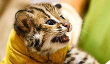北市動物園石虎平平生產 三兄妹貓雄、貓攬、貓控萌樣吸睛