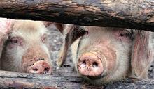 非洲豬瘟蔓延!馬來西亞爆發疫情 攜帶肉品入境將重罰20萬