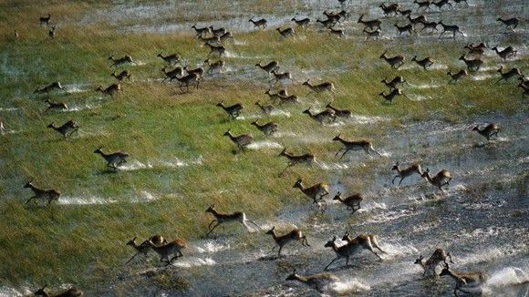 دلتا أوكافنجو.. جنة عدن الإفريقية !!  Red_Lechwe_Running_Across_the_Floodplain_Okavango_Delta_Botswana_1280x720