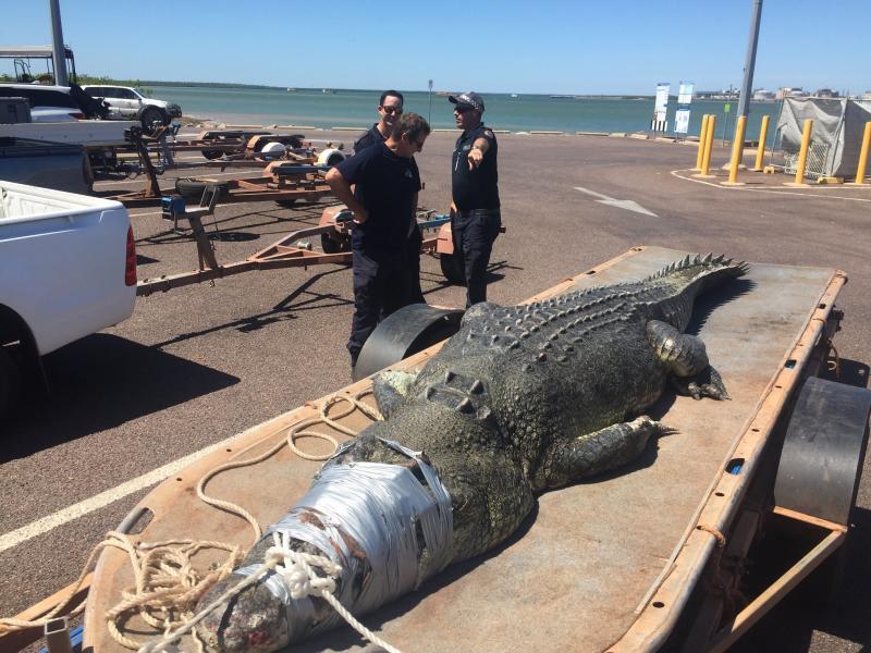 b866ba2dd 5.3m saltwater crocodile caught in Darwin prompts crocwise warning