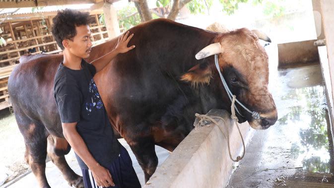 Peternak sapi melakukan perawatan sapi yang sudah dibeli Presiden Joko Widodo untuk kurban Idul Adha di Ciledug, Tangerang, Banten, Selasa (28/7/2020). Sesekali dipijit dengan Cara memukul lembut di bagian tertentu. (Liputan6.com/Angga Yuniar)