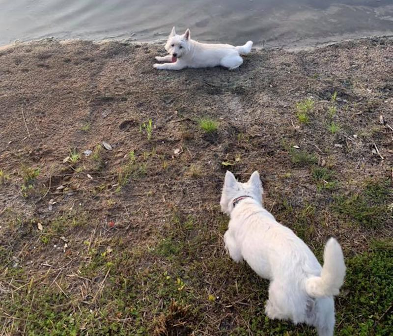 Abby and Izzy chasing the ball and rolling in the mud at the Wilmington pond. Source: Melissa Martin / Facebook