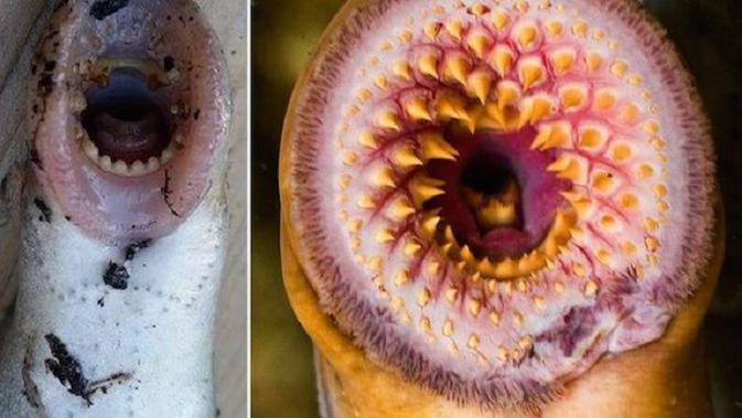 Ikan Vampir (Oddee)