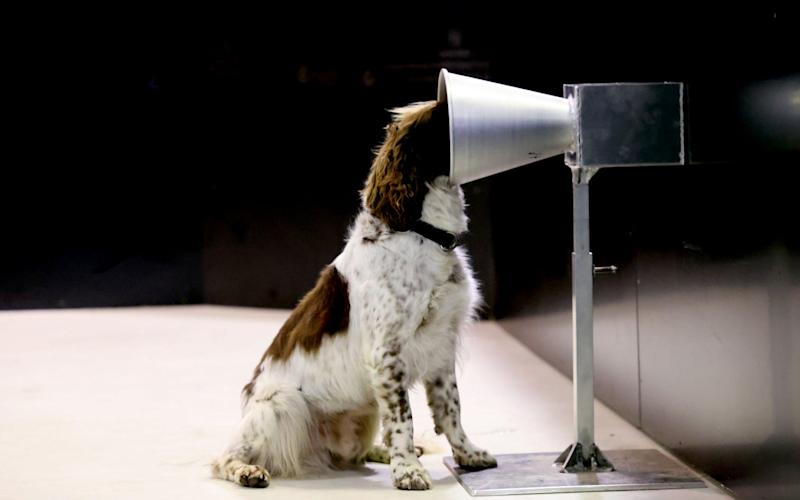 The dogs taking part in the study are being trained to pick the positive Covid-19 sweat sample from a line-up of samples, using positive reinforcement in the form of play with their favourite toy for each correct answer - Getty