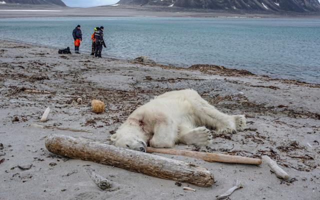 Thepolarbearwas then shot dead 'in an act of self-defense' - Governor of Svalbard