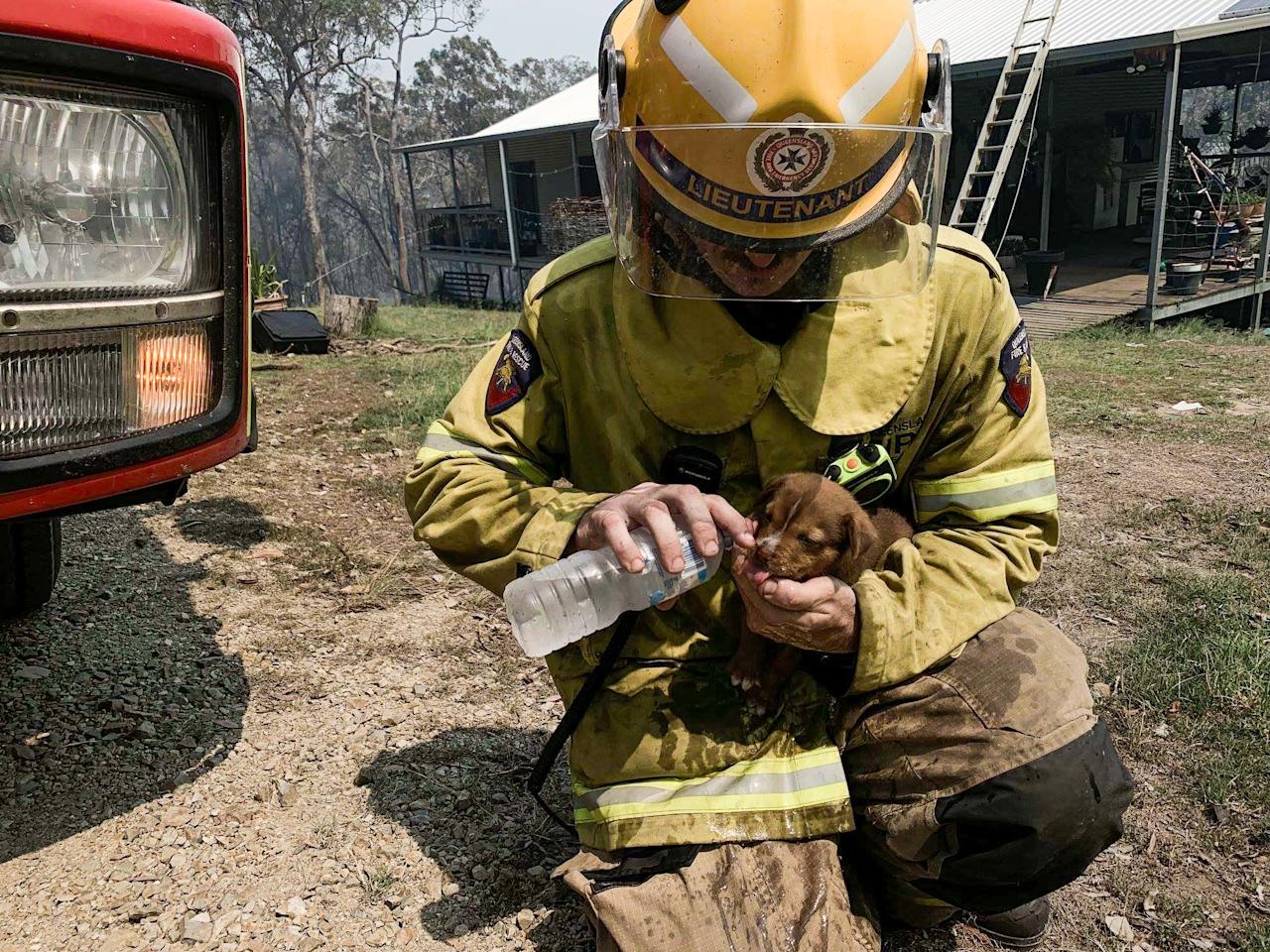 <p>A firefighter pouring water in the mouth of a puppy caught up in dangerous bushfires in Central Queensland. Source: AAP </p>