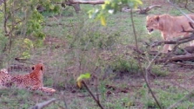 5 Cheetah Melongo Saat Makanannya Diambil Seekor Singa