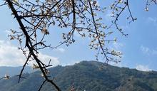 投縣信義梅花花期預計可到2月初 櫻花季、李花季接力報到