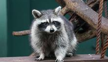 受虐浣熊安置動物園 對外亮相(1) (圖)