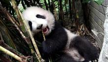 大貓熊圓寶活動力提升 觀音棕竹區玩耍 (圖)