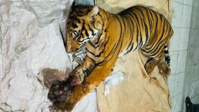 Akhir Tragis Harimau Sumatra Terjerat Kawat Baja di Konsesi Perusahaan di Riau