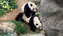 繁殖季節來臨 海洋公園「大熊貓之旅」展館今起關閉