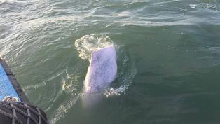 世上最美粉色精靈!被糟蹋的「媽祖魚」-中華白海豚|年度回顧專題