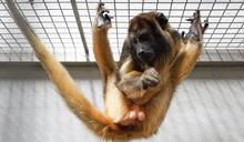 北市動物園攜手新加坡引進黑吼猴 (圖)