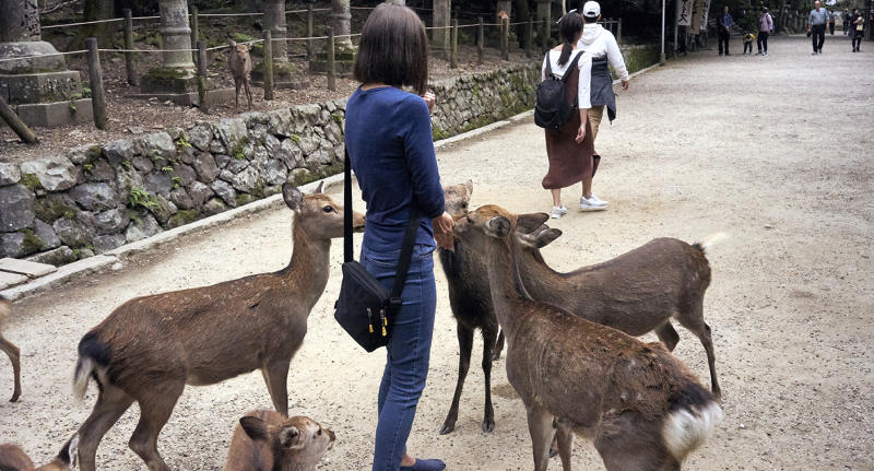 Visitor being surrounded by deer as she attempts to feed them in Nara Park.