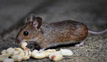 抓老鼠長輩流傳2關鍵字 網:先別說