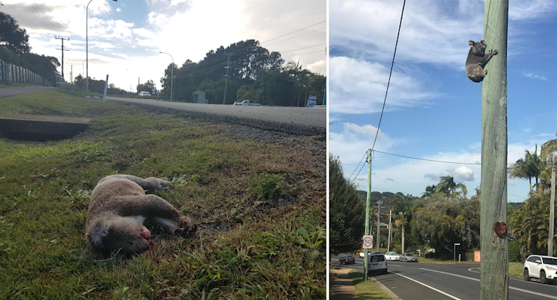 A dead koala on grass by the side of the road. A koala up a power pole next to a road.