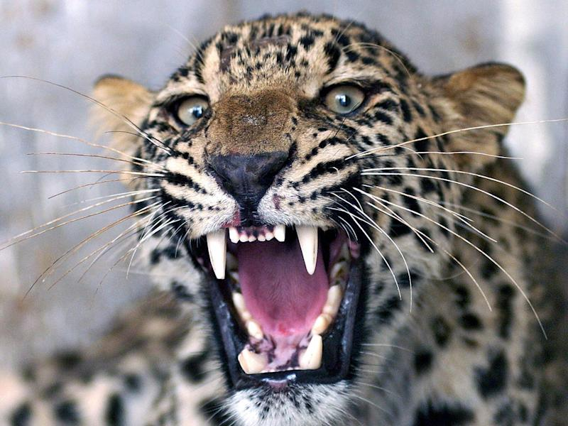 Stock image of leopard in Pakistan roaring as employees of the Wildlife Department try to give it an injection in 2006: Getty/file photo