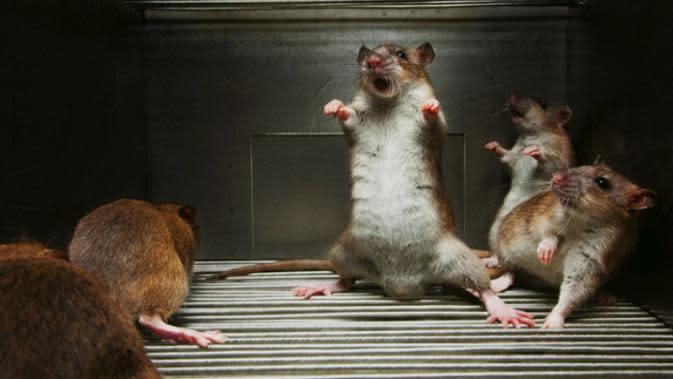 Ilustrasi tikus di rumah. Foto: Homeremedyhacks