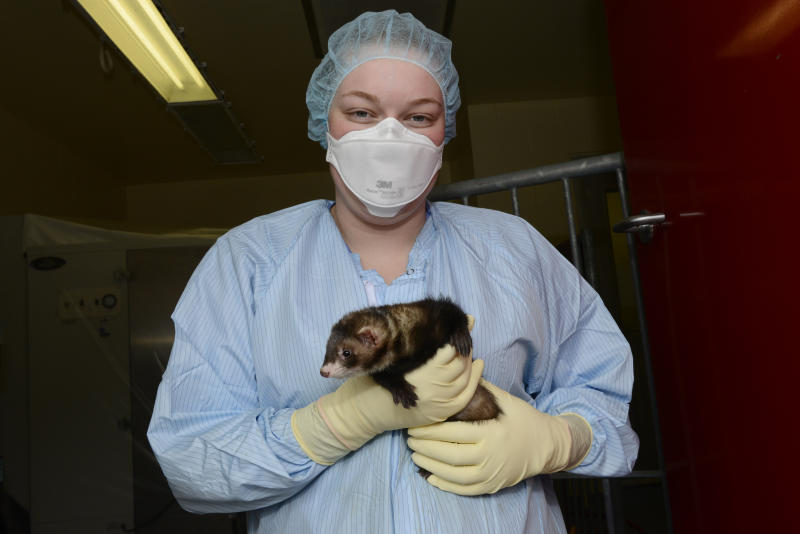 In this April 2014 photo provided by the Vaccine and Infectious Disease Organization-International Vaccine Centre at the University of Saskatchewan, a researcher holds a ferret at their facility in Saskatoon, Saskatchewan, Canada. In 2020, the lab is working with 300 ferrets developing a COVID-19 coronavirus vaccine candidate and testing other vaccine candidates and therapeutics. (VIDO-InterVac at the University of Saskatchewan via AP)