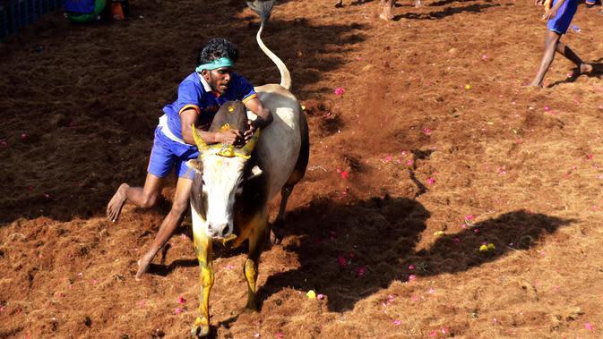 Seorang peserta India mencoba menaklukkan banteng di festival tahunan menjinakkan banteng, Jallikattu, di Desa Avaniyapuram di pinggiran Madurai, Negara Bagian Tamil Nadu, India, Rabu (15/1/2020). Mereka berusaha untuk menaklukkan banteng dengan memegang tanduknya kuat-kuat. (Xinhua/Stringer)