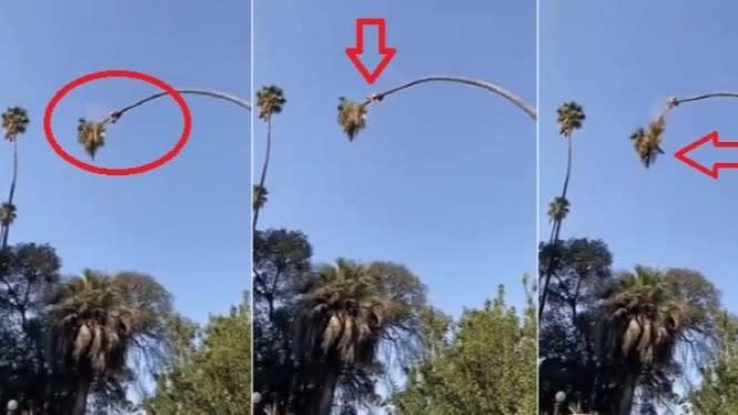 Pria Ini Nekat Potong Pohon Palem Lebih dari 20 Meter, Ini yang Terjadi