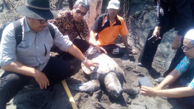 Penyu ditemukan mati di Pesisir Kebumen, Jawa Tengah (Foto: Liputan6.com/BKSDA/ Muhamad Ridlo)