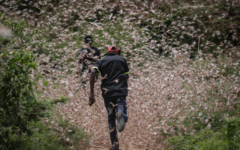 Men run through a swarm of desert locusts to chase them away in the bush near Enziu, Kitui County, some 200km east of the capital Nairobi, Kenya, 24 January 2020. - Dai Kurokawa/EPA-EFE/REX